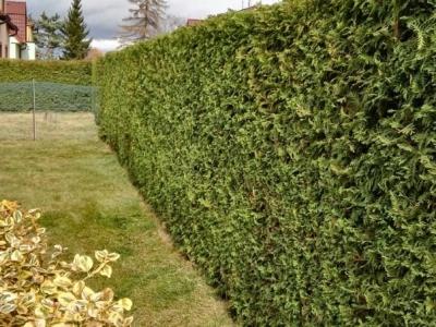 Střih živých plotů
